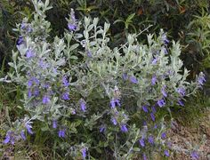 Teucrium (Germander): This tough performer has gray-green leaves with silvery-white undersides that shimmer in the sunlight. Blue flowers are a darker blue than other Germanders. Tolerates poor, rocky soils, performs best in well-drained soils.