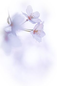 Sakura by naoki nomura on - New Ideas - Orchideen Art Floral, Flower Backgrounds, Wallpaper Backgrounds, Flowers Nature, Beautiful Flowers, Natur Wallpaper, Orquideas Cymbidium, Flower Phone Wallpaper, Flower Aesthetic
