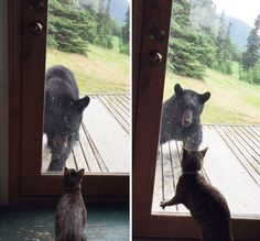 Cat Vs. Bear: Wild Bear Tries To Enter A House But Meets A Cat | Bored Panda