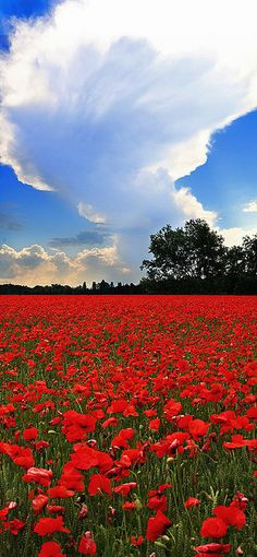 During World War One, the poppies disappeared because of the trampling and bombing of the battlefields. The destruction actually stopped them from growing for four full seasons. After the war was over the poppy began to bloom again. According to reports this historical growth was spectacular, with 2,500 poppy seeds per square foot found. (Poppy's Field by Michele Catania).