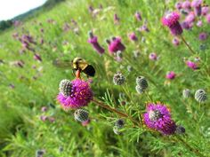 Bumble Bees in Peril