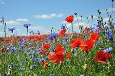 Natürliche grüne Wiese / Blumenwiese im Garten neu anlegen - wilde Pflanzen, Samen, Saatgut, Tiere