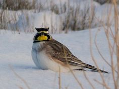 Before there was a cigarette and a compact car known as the lark, there was a bird. In fact, there was a group of birds. One of them, the horned lark, is native to our part of the world.