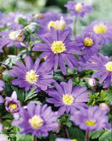"""Anemone blanda blue shades mixture. GROUP: Miscellaneous flowerbulbs. FLOW.PERIOD: 4 = late April. HEIGHT: 4-6""""(10-15 cm.) PERENNIAL FLOWERING: ++. DESCRIPTION: Dutch grown, excellent mixture, beeplant. SPECIAL USE: border, naturalizing, beds. POSITION: sun, half shade. SOIL: well-drained, organic. BULBS / Yd2(M2): 50/150 pc. PLANTING DEPTH: 1-2""""(3-5 cm.) Hardiness: Zone 4-9 Bulb Size: 5/+ cm Qty: 50 bulbs per unit Quantity Price 1 - 1 $8.70 $7.83 2+ $8.30 $7.47 per unit"""