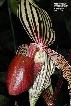 Phaphiopedilum, Prince Edward Orchidaceae, G.D. Carr