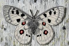 Kuvagalleria no. Moth, Insects, Animals, Animales, Animaux, Animal, Animais