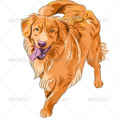 dog Nova Scotia Duck Tolling Retriever breed