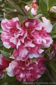 All Flowers, Amazing Flowers, Fresh Flowers, Beautiful Flowers, Bonsai Garden, Garden Pots, Camellia Plant, Flowering Bonsai Tree, Style Floral