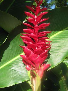 Jamaican Flowers