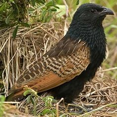The Black Coucal (Centropus grillii) is a species of cuckoo in the Cuculidae family. It is found in multiple regions in Africa