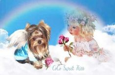 Yorkshire Terrier, Teacup Yorkie, Yorkie