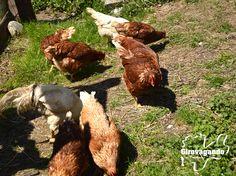 """All'agritur Fattoria Antica Rendena si trovano anche oche e galline. Nella fattoria troviamo le vacche di razza Rendena, diverse capre e un pollaio oltre ad un laboratorio per la produzione artigianale dello yogurt e del formaggio, un punto vendita con annessi locali per la fattoria didattica e un agriturismo con un nome dialettale: """"La Trisa""""."""