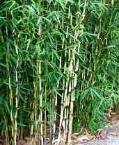 Bambou, achetez vos plantes vivaces et bambous en direct de la pépinière - Le chatel des vivaces