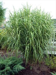 Ornamental grasses on pinterest ornamental grasses for 6 foot tall ornamental grass