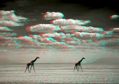 3D Giraffes