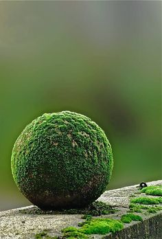 Plants are the strangest People: Moss Ball