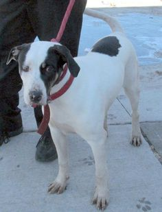 TRANSFERRED TO HUMANE SOCIETY...PIKE....NOW ADOPTABLE!!!! Canton, Ohio...Picked up as a stray on 2/21.  Available on 2/25.  What a big dog Pike is!  He has some hound in the mix, but wouldn't be surprised if there isn't a little Great Dane in the mix also.  Look at those big paws, and long legs.  You have to meet this...