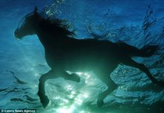 Water baby: The incredible images show the sunlight shrouding the horses who are snapped while swimming photo by Kurt Arrigo