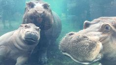 Baby hippo Fiona bonds with both parents together at Cincinnati Zoo | abc7.com