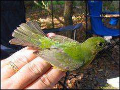Painted Bunting, Parrot, Birds, Parrot Bird, Bird, Parrots