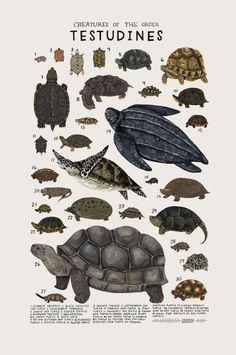 Turtles. @TapasDeCiencia 2/2 Planeta animal. Por Kelsey Oseid