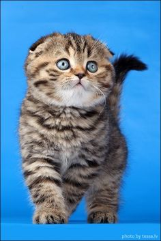 I want another Scottish Fold
