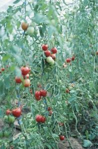 If you have grown tomatoes, you most likely have dealt with tomato blight. Early blight occurs at the beginning of the growing season as dark-brown, irregularly shaped spots caused by the fungus . Organic Pesticide, Growing Tomato Plants, Plants, Tomato Seedlings, Garden Problems, Tomato Farming, Tomato Vine, Tomato Cages, Tomato Blight