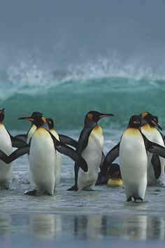 captvinvanity:    King Penguins   | Photographer | CV      ♥    Beautiful Penguins  ♥