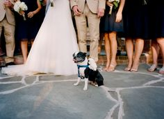 Boston terrier with wedding