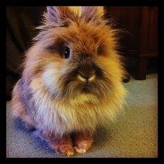 My cute lionhead fluffy rabbit...