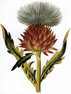 This image by Ignaz Alberti of Cynara cardunculus, commonly known as cardoon, appeared in Volume Six of Icones Plantarum (1817) by Ferdinand Vietz.