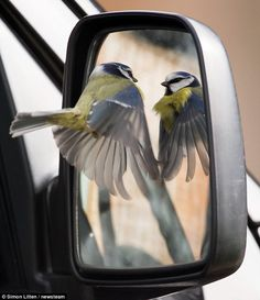 Mirror mirror on the wall! This oblivious bird didn't notice when wildlife photographer Simon Litten crept up to him to snatch the amazing shot of him admiring himself in the reflection. Friend, foe, or... me? The RSPB said the territorial males are notorious for smashing into shiny surfaces in the springtime, as they mistake their reflections for rival mates    Read more…