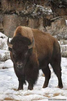 animals from the new world- bison Large Animals, Animals And Pets, Cute Animals, Wildlife Photography, Animal Photography, Beautiful Creatures, Animals Beautiful, Buffalo Animal, American Bison