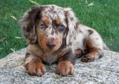 dapple long haired dachshund puppies   Zoe Fans Blog