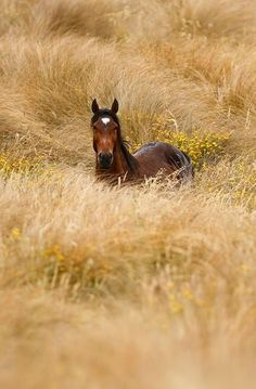 Wild New Zealand Kaimanawa horse. Photo courtesy of Kelly Wilson.