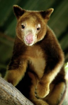 A captive Huon or Matschie's tree kangaroo (Dendrolagus matschiei), National Botanic Gardens, Port Moresby. Despite a body designed to hop along the ground, many species in New Guinea have evolved to live in the forest canopy, where there are rich pickings of food