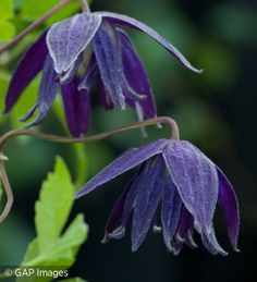 Clematis macropetala 'Purple Spider'