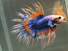 #Betta #fish