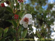 Murtilla es un berry nativa de Chile