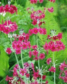 Prvosenka japonská - Primula japonica