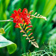 Crocosmia Add an exotic touch to your favorite arrangements with crocosmia. This gladiolus relative bears clusters of bold red, orange, or yellow flowers that always seem to be the center of attention. Zones 6-9