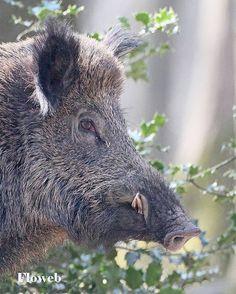 29+ best Wild Boar head images on Pinterest in 2018 | Wild boar, Big ...