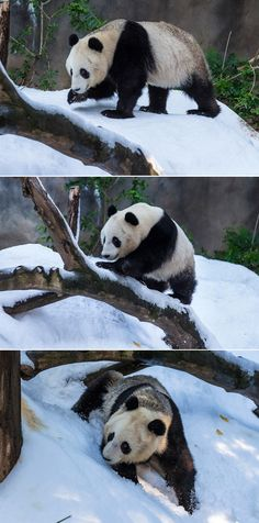 Thanks to generous donors, the San Diego Zoo pandas woke up to a winter wonderland.