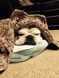 English Bulldog in a Blanket