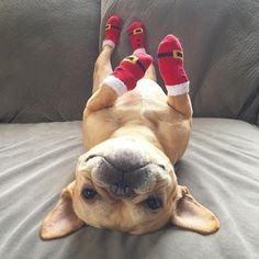 """Got Santa Boots on!"" French Bulldog at Christmas❤️"