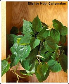Find information about philodendron, including: type, height and width, color, and seasonal features. Check out more philodendron plants and explore tips for philodendron care. Best Indoor Plants, Cool Plants, Inside Plants, Air Plants, Small Artificial Plants, Artificial Flowers, Plants Toxic To Dogs, Ficus Pumila, Growing Plants Indoors