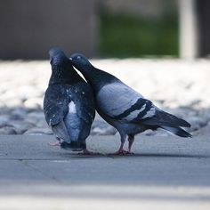 Pigeons are really good at relationships. Unless the couple gets separated, they usually mate for life.