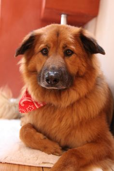Chelsea Handler's dog, Chunk. (Chow Sheppard Mix).