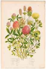 Antique 1860 Anne Pratt Flowering Plants, Plate 59 Various Clover and Trefoil