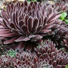 "Sempervivum 'Crimson Velvet'   Also known as:   Crimson Velvet Sempervivum ~  succulent 1""-2"" tall, 2"" - 4"" wide zones 4a-10b   SOIL NEEDS:   well-drained, sandy/gritty   WATER NEEDS:   low   SUN EXPOSURE:   sun, part sun     FLOWERS:   white   FOLIAGE:   evergreen   WILDLIFE:   deer resistant   FLOWERING TIME:   summer"